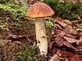 Espen-Rotkappe Leccinum leucopodium.JPG