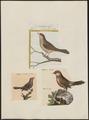 Estrilda astrild - 1700-1880 - Print - Iconographia Zoologica - Special Collections University of Amsterdam - UBA01 IZ15900123.tif