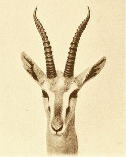 Eudorcas albonotata head.jpg