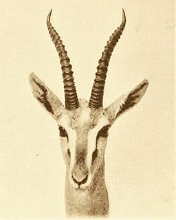 Mongalla gazelle species of mammal