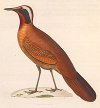 Eupetes macrocerus 1838.jpg