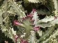 Euphorbia - Oasis Park botanical garden - Fuerteventura - 02.jpg