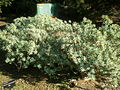 Euphorbia balsamifera 1c.JPG
