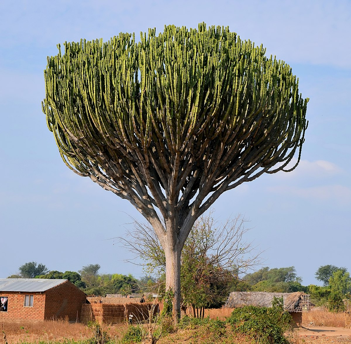 Image result for corking euphorbia ingens trunked