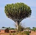 Euphorbia ingens (habitus), crop.jpg