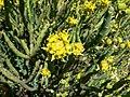 Euphorbia mauritanica-P1010239.JPG