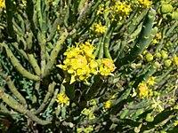 Euphorbia mauritanica-P1010239