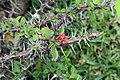 Euphorbia milii 21zz.jpg