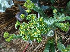Euphorbia paralias flower head.jpg