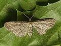 Eupithecia millefoliata - Yarrow pug (27073570608).jpg