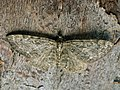 Eupithecia sp. (27523765898).jpg