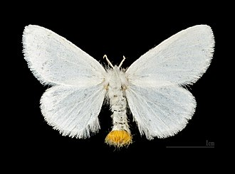 Yellow-tail - Image: Euproctis similis MHNT.CUT.2012.0.357. Les Mathes female
