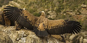Eurasian Griffons drying wings - Catalan Pyrenees - Spain S4E7943.jpg
