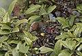 Eurasian blackcap - Sylvia atricapilla, 2020-01-12 02.jpg