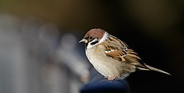Eurasian tree sparrow at Tennōji Park in Osaka, December 2015.jpg