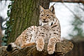 Euroazijski ris Lynx lynx Zagreb 112010 1.jpg