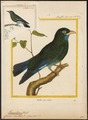 Eurystomus orientalis - 1700-1880 - Print - Iconographia Zoologica - Special Collections University of Amsterdam - UBA01 IZ16700243.tif