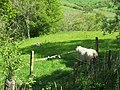 Ewe and Lambs - geograph.org.uk - 434120.jpg