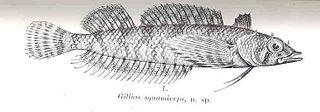 Scalyhead triplefin