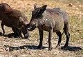 Facoceros comunes (Phacochoerus africanus), parque nacional de Chobe, Botsuana, 2018-07-28, DD 34.jpg