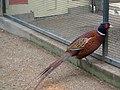 Faisan à collier (volière du parc du Thabor, Rennes).JPG