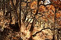 Fall livery. Garry Oak forest . Victoria BC.jpg