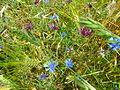 Feld mit blauen und roten Kornblumen.jpg