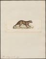 Felis celidogaster - 1834 - Print - Iconographia Zoologica - Special Collections University of Amsterdam - UBA01 IZ22100376.tif