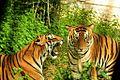 Ferocious Tiger.jpg