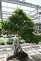 Ficus benjamina Exotica 3zz.jpg