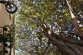 Ficus de la plaça del Centenar de la Ploma de València.JPG