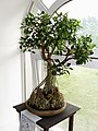Ficus microcarpa bonsai Kiev.jpg
