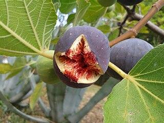 Reproductive coevolution in <i>Ficus</i>
