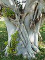 Ficus thonningii, stam, Waterberg.jpg
