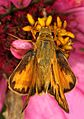 Fiery Skipper - Hylephila phyleus, Meadowood Farm SRMA, Mason Neck, Virginia - 21970828372.jpg