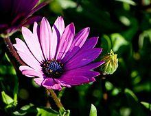 <small> <i> (aprilo 2013) </i> </small> Fiore Viola.jpg