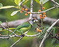 Fire-tufted Barbet, Fraser's Hill, Pahang, Malaysia 1.jpg