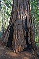 Fire scars in sequoia trunk.jpg