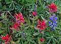 First day of the summer in the Alpine flowers of Sun Peaks...Common Red Paintbrush (Castileija miniata) and Arctic lupine (Lupinus arcticus)... (27680044113).jpg