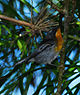 Flame-throated Warbler.jpg