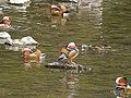 Flock of Aix galericulata in Shonai River - 5.jpg