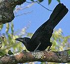 Flores Crow (Corvus florensis) (8074132731) (cropped).jpg