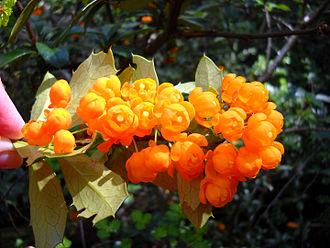 """Berberis ilicifolia - Image: Flores de """"Berberis ilicifolia"""". Foto tomada en el Parque Nacional de Tierra del Fuego, Ushuaia, Argentina"""