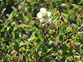 Flores en el Jardín Botánico de Viña del Mar 02.JPG