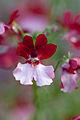 """Flower, Nemesia """"Danishes-Flag (^)"""" - Flickr - nekonomania.jpg"""