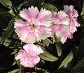 Flowers - Uncategorised Garden plants 300.JPG