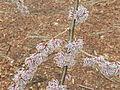 Flowers of Marn Elm Ulmus villosa.JPG