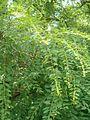 Flueggea suffruticosa male BotGardBln07122011C.JPG