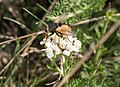 Fly on flower on Djurgarden (52357).jpg