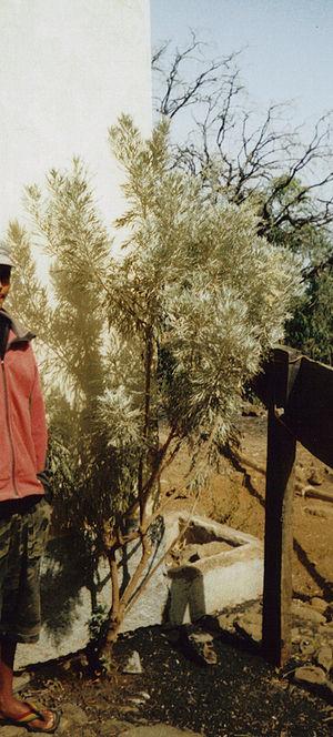 Wildlife of Cape Verde - Losma (Artemisia gorgonum), an endemic plant of Fogo Island